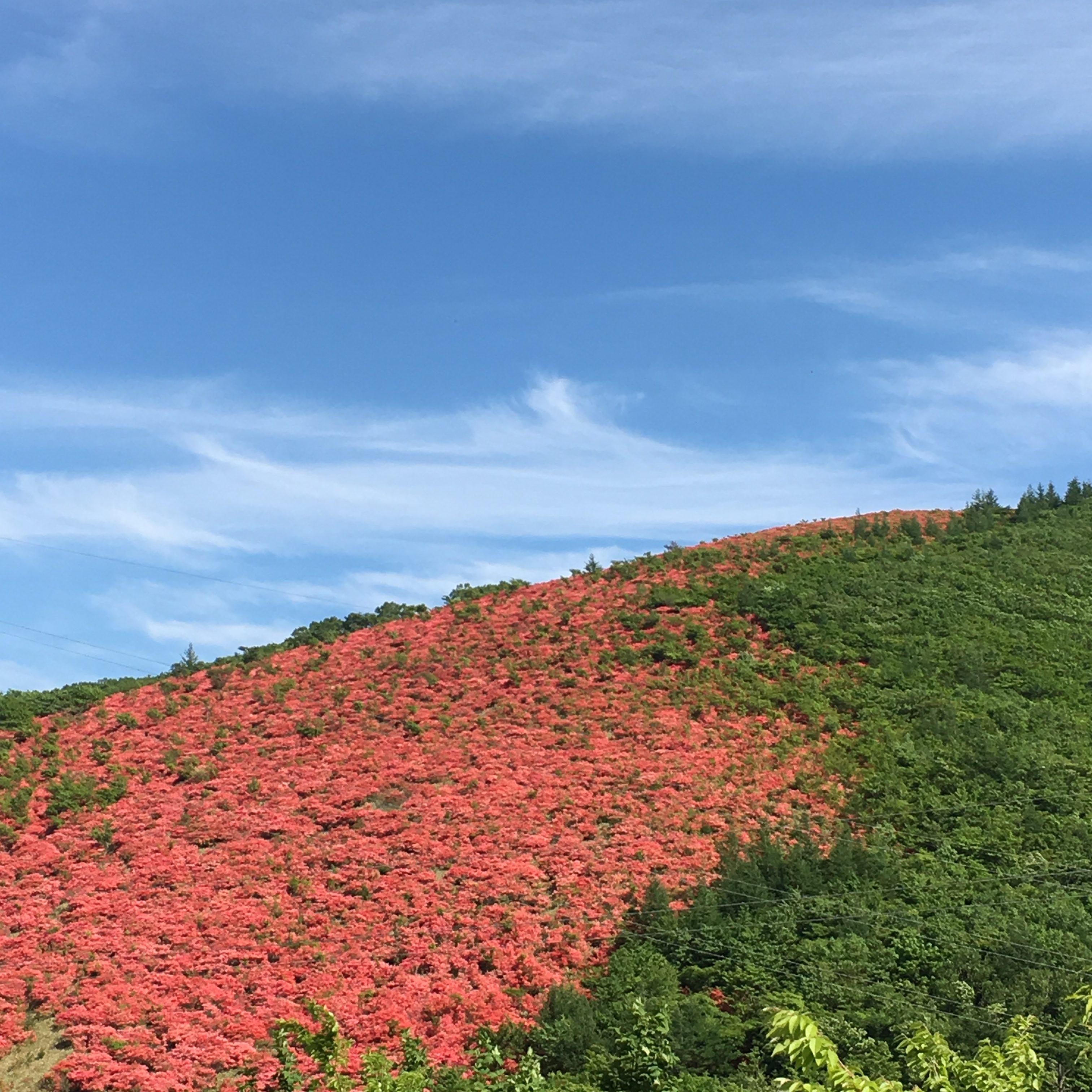 ツツジ満開 五葉山 2016