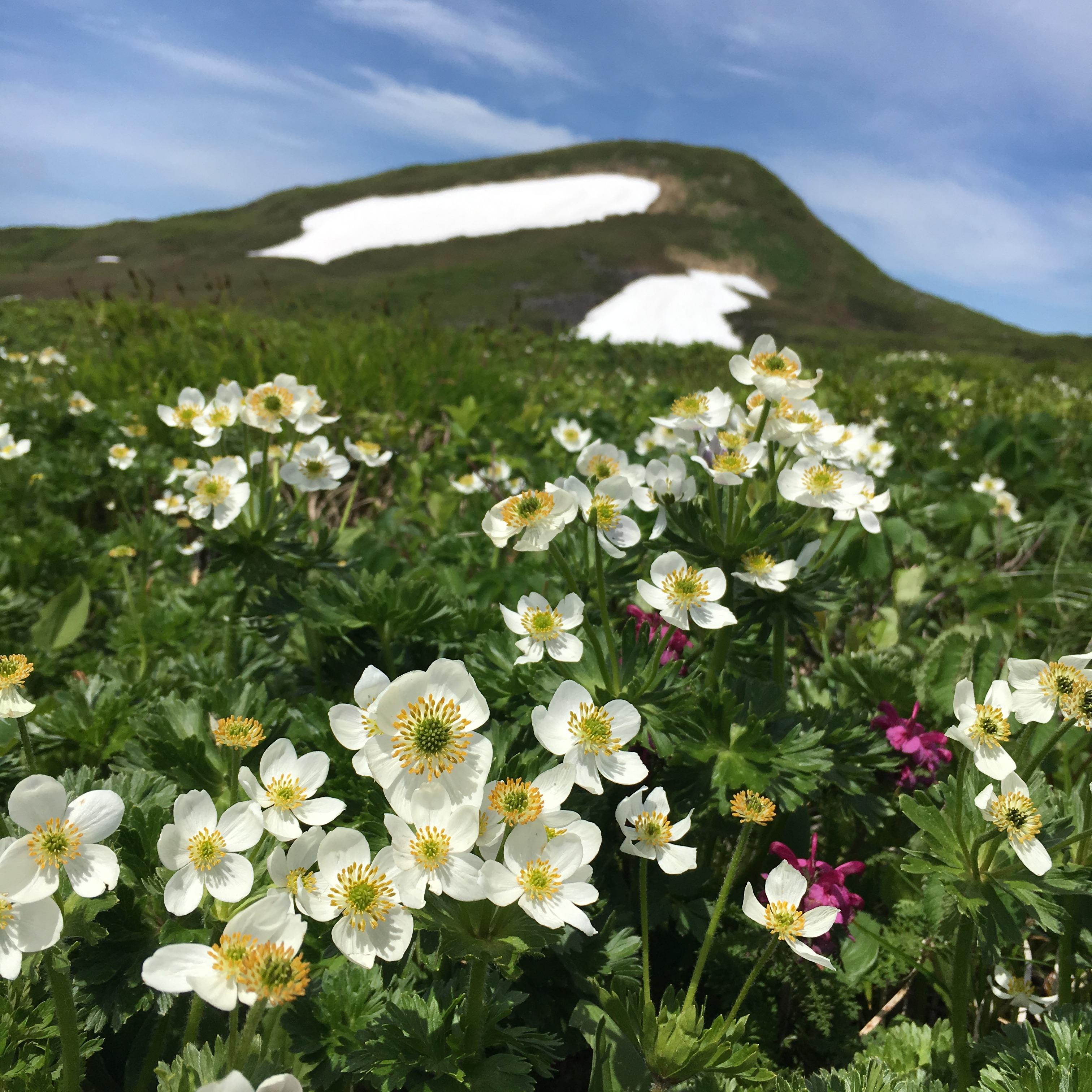 焼石岳の山頂とお花畑 2017.6